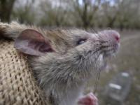 Managing urban rodents.